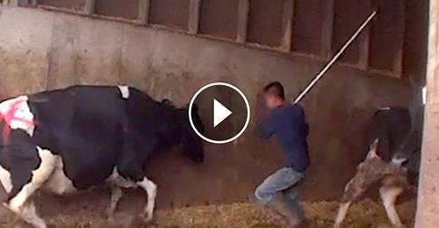 Die Milchindustrie – neue Undercover-Recherche zeigen den Alltag