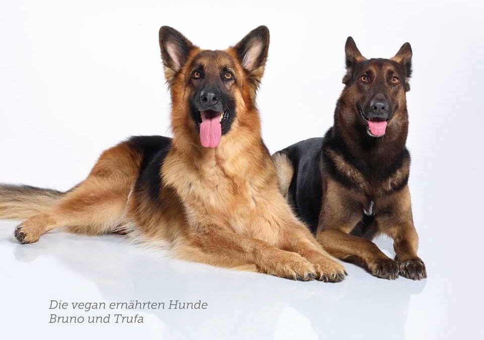 Was ist der auffälligste Unterschied zwischen vegan ernährten Hunden und mit Fleisch ernährten Hunden?