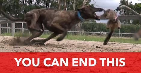 Die barbarischen Methoden der Windhund-Industrie