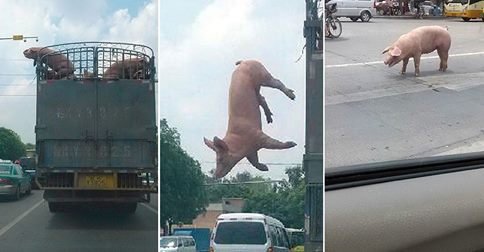Ein Schwein kämpft um sein Leben – leider vergeblich