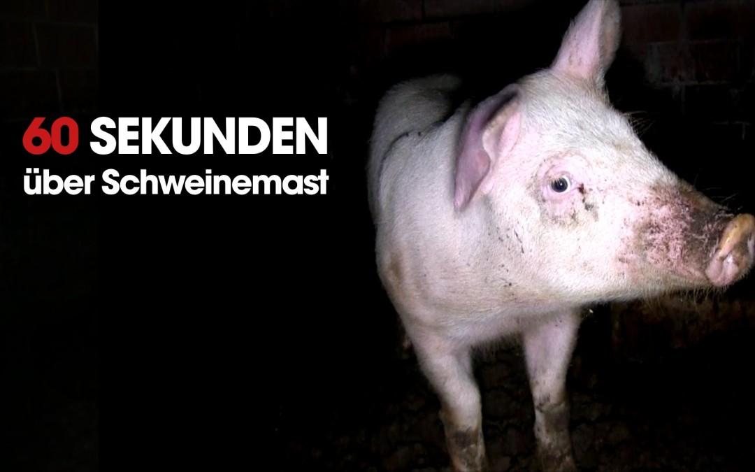 Die ganz normale Haltung und Aufzucht von Schweinekindern