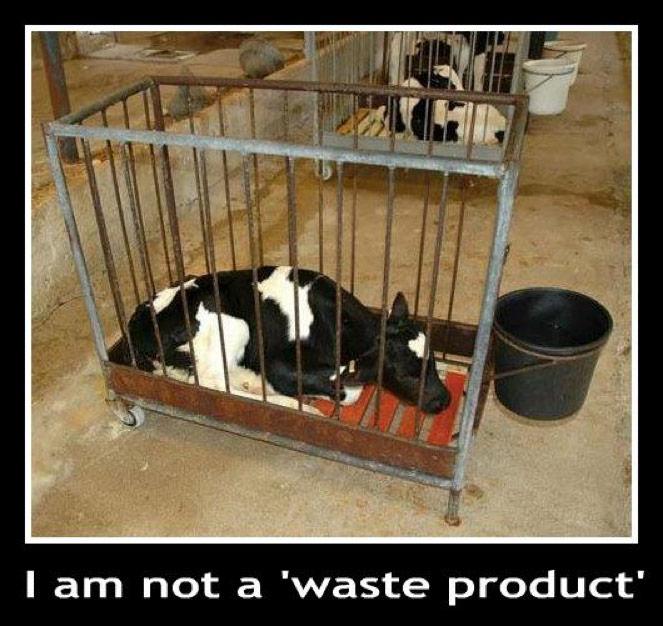 Milchprodukte sind mindestens so grausam wie Fleisch und Fisch