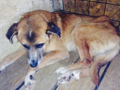 Jack, ca. 10–12 Jahre, er hat sich im Shelter aufgegeben