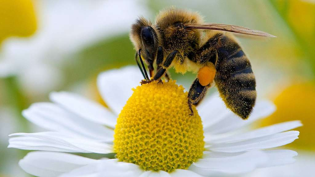 In Großbritannien dürfen wieder Bienenkiller-Pesitzide versprüht werden – trotz eines EU weiten Verbots!