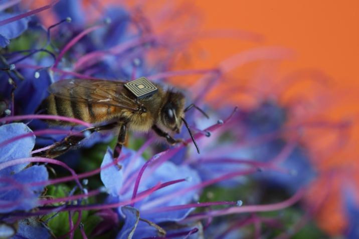 Zuerst bringen sie die Bienen um, dann quälen sie die überlebenden Bienen mit Mikrosensoren
