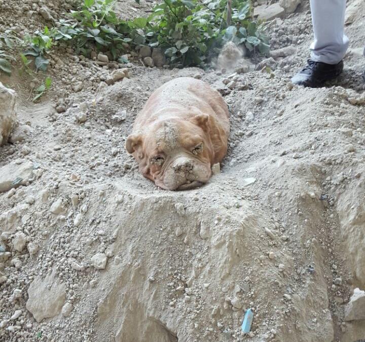 Tierquäler vergräbt Dogge lebendig im Bauschutt – Findest Du das auch furchtbar?
