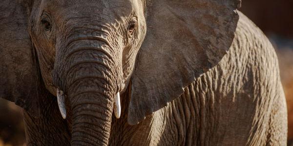 Elefantenmassaker stoppen, mit dem Terroristen finanziert werden – Petition