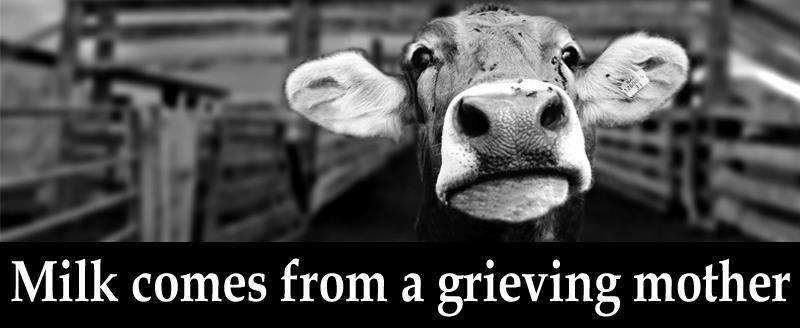 Milch kommt von trauernden Müttern