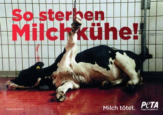So sterben Milchkühe! Milch tötet
