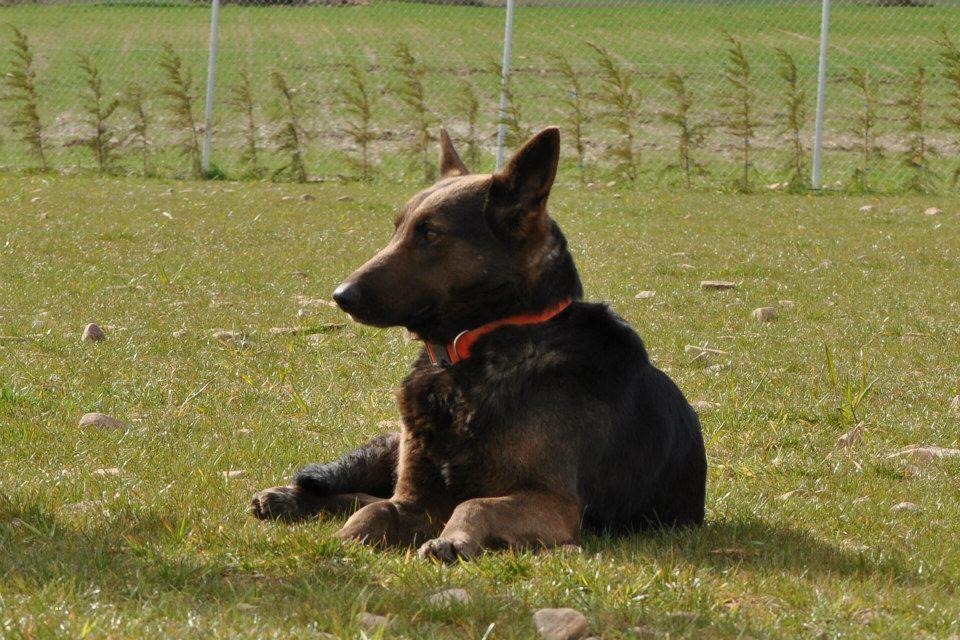 Schäferhunde sind etwas ganz besonderes – wenn man sie gut behandelt, dann sind sie ein ganz grosses Geschenk, auch oder gerade dann, wenn sie aus dem Tierschutz kommen