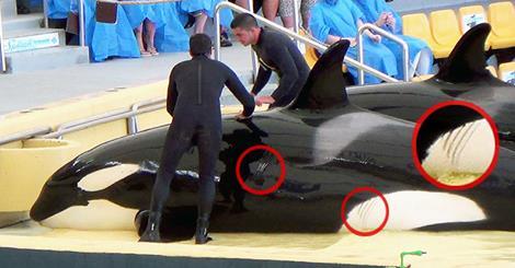 SeaWorld missbraucht und quält Orcas in Spanien