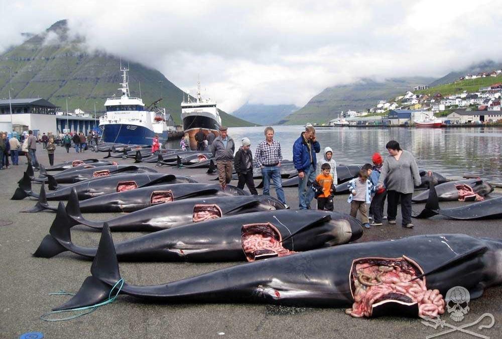Auf den Färöer Inseln werden die Kinder schon früh in die Realitäten der Schlachthausgesellschaft eingeführt