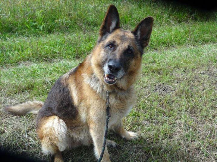 """Notfall """"Arco"""" – Deutscher Schäferhund in der Schweiz sucht ein neues liebevolles Zuhause!"""