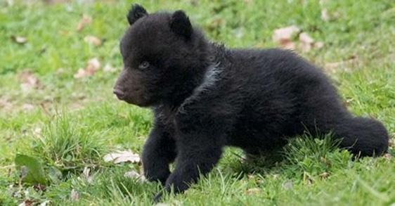 Zoo total durchgeknallt: Zoo tötet gesundes Bären-Baby
