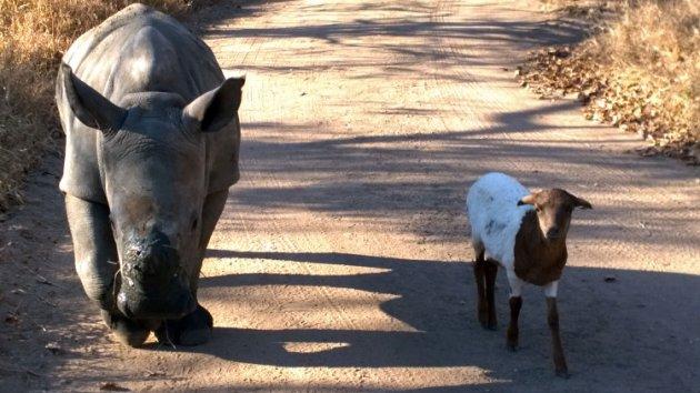 Beste Freunde: 3 Monate altes Nashornbaby und ein Lamm
