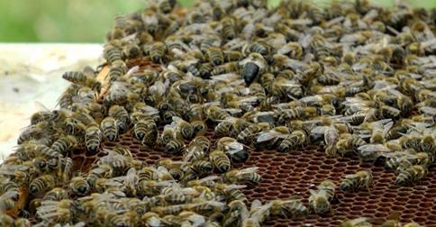 ARD: FAKT Pestizide als Ursache für Bienensterben nachgewiesen