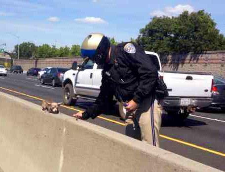 Ein Polizist rettet einen Chihuahua in der Mitte einer Schnellstrasse