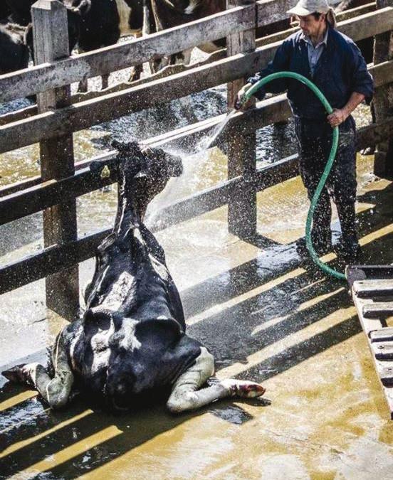 """Ein Blick hinter die Kulissen des Milchindustrie: """"Verbrauchte"""" und sogenannte """"DOWNER"""" Kühe"""