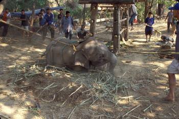 """Elefanten""""training"""" in Indien – unglaublicher Missbrauch von Tierkindern"""