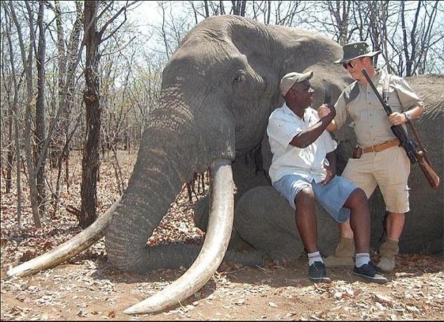 Deutscher Killer erschoss den wohl grössten Elefanten – er war 40- 60 Jahre alt mit riesigen Stosszähnen