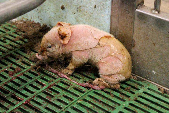 55 Millionen Schweine werden jedes Jahr geschlachtet, davon landen 20 Millionen auf dem Müll