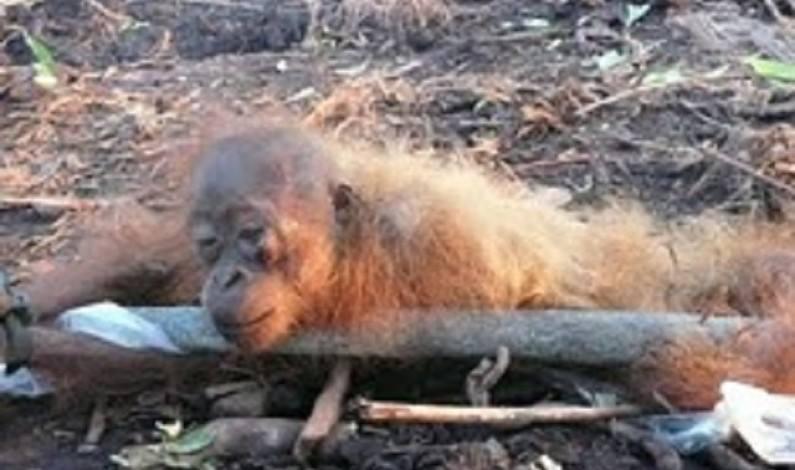 Orang-Utans werden wegen Palmöl gequält, verbrannt und erschlagen