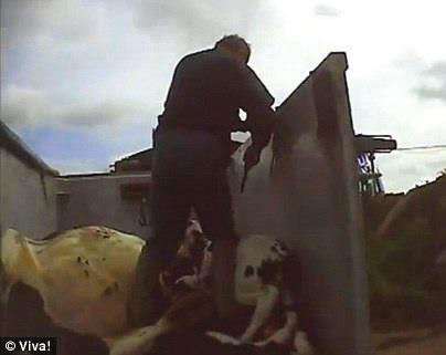Männliche Tierkinder werden wegen Milch und Milchprodukten zuerst gequält (der Mutter entrissen) und dann hingerichtet