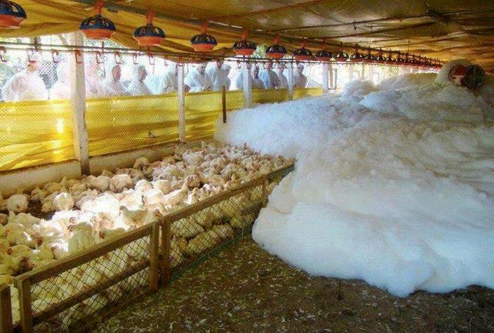 In den USA testen Forscher eine neue Methode aus, die auf einen Schlag mittels Schaum 15.000 Hühner ersticken soll