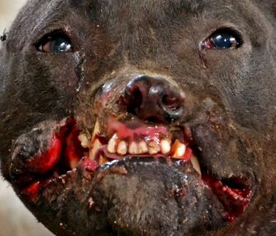 Hundekämpfe müssen gestoppt werden – Petition