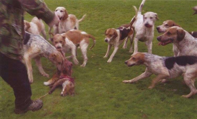 Bitte abstimmen: Soll die grausame Jagd mit Hunden wieder legal werden?