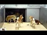 """Video: In Japan tötet man den """"Überschuss"""" an Hunden voll automatisch"""