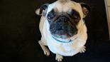 TV-Bericht – Verbrechen an Hunden: Qualzuchten, Defektzuchten