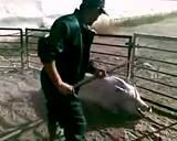 Wichtiges Video für Fleischesser und Vegetarier (weil es den Kühen nicht besser als den Schweinen ergeht) und Fleischfütterer