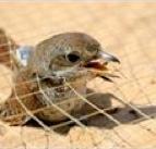 Petition gegen den Vogelmord in Ägypten